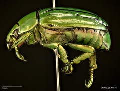 Chrysina gloriosa (Scarabaeidae) (Specimens from the Zoology Collections at the DMNS) Tags: arizona insectos green nature ecology museum bug insect shiny pin texas metallic beetle insects science bugs beetles museums escarabajo biology scarab entomology grinter dmns pinned coleoptera scarabaeidae rutelinae escarabajos denvermuseumofnaturescience scarabs polyphaga chrysina chrysinagloriosa scarabioidea