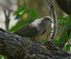 Mourning Dove (hickamorehackamore) Tags: ohio spring lakeerie may greatlakes oh oakharbor northwestohio 2013 mageemarsh blackswampbirdobservatory biggestweekinamericanbirding cranecreekwildlifearea