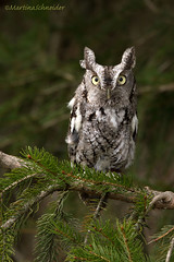 Week 18/52- Emotions (martinaschneider) Tags: bird raptor owl surprise mountsberg birdsofprey birdofprey stunned easternscreechowl 52weeksthe2014edition week182014 weekstartingwednesdayapril302014