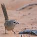 Maluridae - Western Grasswren