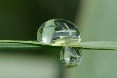 De hojas y reflejos. (Victoria.....a secas.) Tags: macro reflections drops explore gotas reflejos