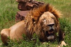 Lion in the heat - Ngorongoro, Tanzania (mikestu26) Tags: africa tanzania lion safari ngorongoro crater