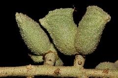 Lunasia amara (andreas lambrianides) Tags: australiannativeplant rutaceae australianflora rainforestplants rainforestplant arfp australianrainforests australianrainforestplants arffs australianrainforestfruits lunasiaamara lunasia australianrainforestseeds greenarffs galleryarf lowlandarf cyrfp australianrainforestfruitsandseeds understoreyarfp pilocarpusamarablanco lunasiaquercifolia lunasiaamarablancovaramara