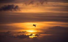 Flying in the first light (Infomastern) Tags: sky sun sol clouds sunrise dawn himmel soluppgng trelleborg moln gryning vstrasmbtshamnen