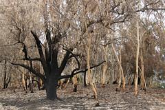 Nach dem Feuer (Alf Layla wa Layla) Tags: tree nature forest natur australia newsouthwales canberra australien wald bume baum act bushfire waldbrand