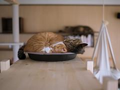 . (rampx) Tags: cat pentax kittens neko   irori maru kotaro miaw 645z