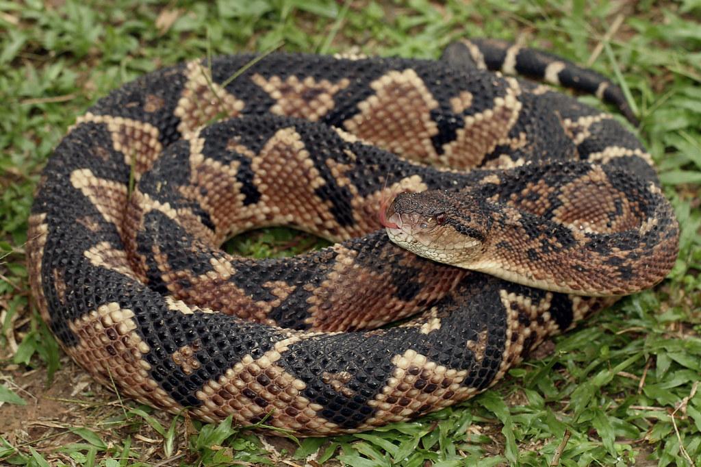 Bushmaster Snake