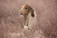 Lion Tongue