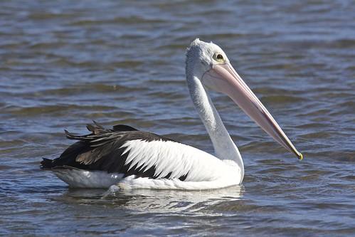 Random pelican photo.