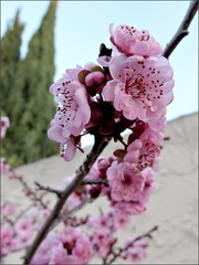 Blossoms in the morning light (Needleloca) Tags: garden blossoms ribbet plumblossoms floweringplum 2015