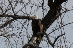 Bald Eagle keeps watch on the river