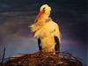 IMG_2005 it's a cold windy evening (pinktigger) Tags: winter italy bird nature evening italia nest wind stork cegonha cigüeña friuli storch cigogne ooievaar fagagna cicogna oasideiquadris feagne nest22