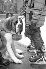 Rescue Dog (peterkelly) Tags: boy bw dog ontario canada digital downtown cityhall skating guelph barrel rink northamerica brandy saintbernard stbernard skates