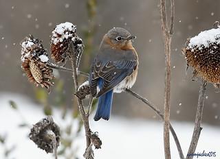 girl bluebird