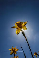 Backlight Narcis (Gerald Schuring) Tags: holland tulips bloemen narcis drenthe tulpen bloem narcissen bollenvelden tulpenvelden