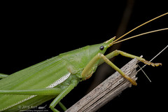 Pyrgocorypha sp._MG_0589 copy (Kurt (OrionHerpAdventure.com)) Tags: katydid orthoptera pyrgocoryphasp