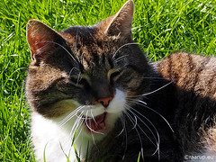 Bastian's whiskers - Happy Caturday - Explored 07.05.2016, #370 (Finn Frode (DK)) Tags: pet cats animal cat garden denmark spring outdoor yawn olympus whiskers mixedbreed bastian domesticshorthair happycaturday omdem5