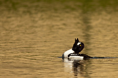 The Call (LongInt57) Tags: white canada black green bird nature water yellow swimming golden duck pond wake bc okanagan wildlife floating mating ripples kelowna drake calling goldeneye barrows posturing