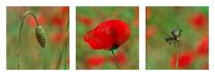 Life of poppy - Vie de coquelicot (GCau) Tags: red france joke like poppy poppies provence vie coquelicots gecau
