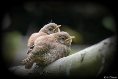 Juvenile Wren / Jonge Winterkoning / Troglodytes troglodytes (Eric Tilman) Tags: netherlands wren juvenile troglodytes tinte jonge winterkoning