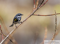 Yellow-rumped warbler (eric marceau) Tags: wild canada bird animal yellow spring quebec wildlife ngc planet warbler rumped