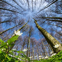 Finally springtime :) (B.AA.S.) Tags: flowers sky sunlight plant flower tree nature norway closeup forest woodland outdoors norge spring natur lookingup treetrunk 8mm springtime vår larvik vestfold anemonenemorosa 2016 hvitveis woodanemone lowangleview bøkeskogen canonmarkiii canon815mm