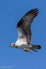 Balbuzard pêcheur / Osprey (Pierre Lemieux) Tags: canada québec osprey villedequébec balbuzardpêcheur basedepleinairdesaintefoy