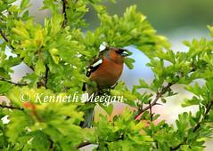 Chaffinch (Ken Meegan) Tags: bird finch chaffinch
