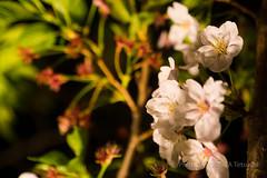 / Cherry Blossoms at Night (kimtetsu) Tags: plant japan nightshot jp   cherryblossom  osaka