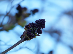 DSCN0078 (iamlewolf) Tags: blue flower macro tree green nature closeup spring cool nikon focus colorful purple bokeh coolpix bud springtime selective selectivefocus nikoncoolpix nikonl320