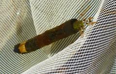 Caddis Fly larva (Durley Beachbum) Tags: garden may bournemouth caddisfly