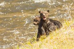 Having a bawl (ChicagoBob46) Tags: bear cub yellowstonenationalpark yellowstone cubs grizzly grizz grizzlybear