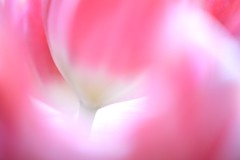 Curves (*cranberry*) Tags: pink flower photo bokeh curves tulip platinumheartaward