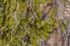 Periderm as Substrate (K.G.Hawes) Tags: park plants plant dead moss flora bark detritus lichens mossy mosses