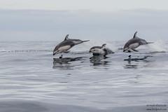 Pacific White-sided Dolphin - Monterey Bay, CA, USA (Vivek Khanzod (www.birdpixel.com)) Tags: ca usa nature animals us monterey flickr wildlife montereybay dolphins whalewatching facebook pacificwhitesideddolphin lagenorhynchusobliquidens