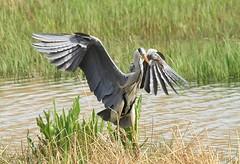 Down (WhitePointer) Tags: heron landing rspb leightonmoss flight