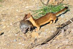 Long-tailed weasel (Mustela frenata) with Meadow vole (rangerbatt) Tags: utah nikon northernutah wildlife explore weasel wetlands marsh carnivore stoat longtailedweasel mustelafrenata inexplore d5300 utahwildlife nikon55300mm nikond5300 greatsaltlakewetlands huntingweasel