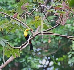 Keel-billed Toucan (vil.sandi) Tags: toucan nationalpark wildlife panama darien keelbilledtoucan ramphastossulfuratus fischertukan 2016panama2