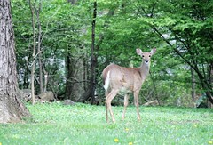 Doe visitor back in April (karma (Karen)) Tags: trees home woods backyard wildlife maryland doe baltimore deer