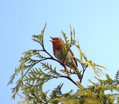 Robin and Cypress tree (ekaterina alexander) Tags: pictures wild england tree bird nature robin photography sussex spring branch branches evergreen cypress alexander ekaterina