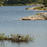 5_nesting_loon_2nd_lake viewpoint_700m_Beausoleil_Island_Fairy_Trail_11_6_2016_Noah_Cole_2_2858 thumbnail