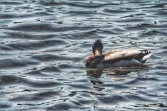 *** einander anschauen *** (***toile filante***) Tags: nature water animal river duck wasser natur fluss ente tier