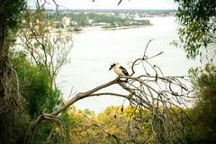 Kookaburra (Lennixx) Tags: brown bird river fishing wildlife australia perth kingfisher wa kingspark kookaburra wildbird