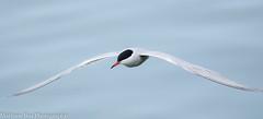 Common Tern (Sterna hirundo) (boamatthew) Tags: uk summer bird nature nikon wildlife flight lancashire preston tamron wildlifetrust rspb commontern d7000 150600mm