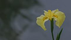 Speak (Nobuyuki Ikeda) Tags: iris white flower yellow japan landscape sony  toyama     nanto  inami      nex6