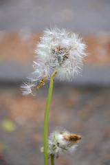 Löwenzahn - dandelion (Hobbyfotografie Rebekka) Tags: dandelion löwenzahn blume blumen flower pflanze pflanzen natur