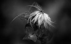 Stopover (AnyMotion) Tags: flowers light blackandwhite bw macro floral garden licht bokeh frankfurt natur blumen seeds sw makro garten pasqueflower samen 2016 pulsatillavulgaris kchenschelle makroaufnahmen anymotion wolfsmilch 7d2 euphorbiagriffithii griffithsspurge canoneos7dmarkii
