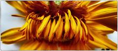 zonnebloem (roberke) Tags: flower nature fleur yellow closeup petals flor grain natuur blaadjes geel bloem zonnebloem korrel