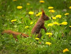 Amongst the dandelions (hedera.baltica) Tags: squirrel redsquirrel wiewirka sciurusvulgaris eurasianredsquirrel wiewirkapospolita