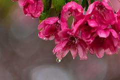 Project 366 - 21st May 2016 (Rich Walker75) Tags: pink flowers flower tree waterdrop bokeh photoaday droplet project366